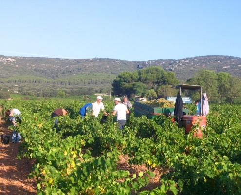 Vendanges au Domaine de la Plaine, producteur de muscat de Frontignan