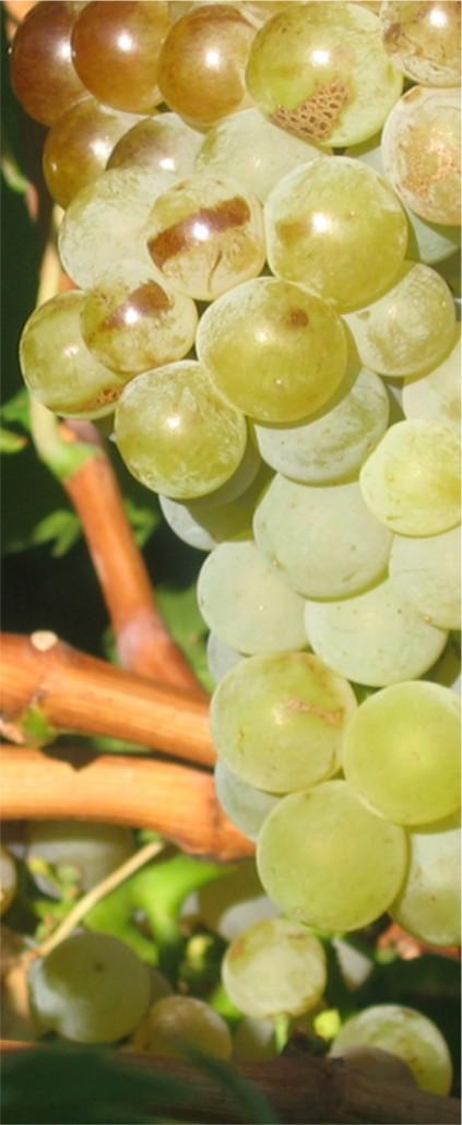raisin au Domaine de la Plaine, producteur de muscat de Frontignan