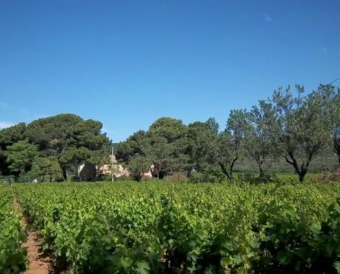 vigens du Domaine de la Plaine, producteur de muscat de Frontignan